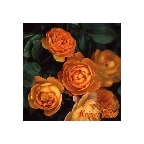 【緊急入荷】この初夏に、ガーデンのシンボルに!! 薔薇(ばら) ハニー キャラメル -Honey Caramel-丸弁ディープカップ咲 1鉢(簡易鉢)