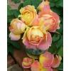 この春に、ガーデンのシンボルに!!デルバール(Delbard) 薔薇(ばら) ポール セザンヌ  四季咲大輪系(HT) 簡易鉢
