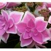 花弁のグラデーションが美しい!!!紫陽花(アジサイ) コンペイトウ ピンク 簡易5号鉢 1個