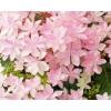 星咲き(ホシザキ)!!!!紫陽花(アジサイ) ダンスパーティー ピンク 簡易5号鉢 1個