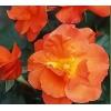 :【緊急入荷】この春に、ガーデンのシンボルに!! つる薔薇(ばら) プリンセス ミチコ -Princess Michiko-つるバラ系(CL) 1鉢(簡易鉢)