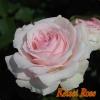 【緊急入荷】 この春に、やわらかいピンクのガーデンのシンボルに!!  春乃(はるの) 6号 1鉢(簡易鉢)