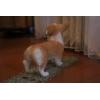 【送料無料】粘土フィギア 子犬シリーズ 「コーギー ペンブローグ」ハンドメイド