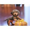 粘土フィギア 小さい犬シリーズ1 「スムースヘアードのダックスちゃん」