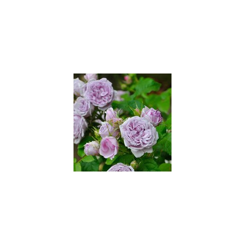 この初春に見つけて、ガーデンのシンボルに!! ル・シェル・ブルー Le Ciel Bleushine  大苗 四季咲中輪系(FL) 1鉢(輸送用簡易鉢)