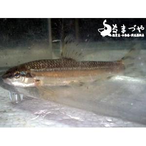 韓国産 シュリ(ヤガタムギツク)6-8cm