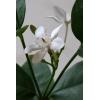 夏の鉢花として最近注目されています!!!セイロンライティア苗 12cm簡易鉢×2個