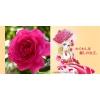 【緊急入荷】この春・秋に、ガーデンのシンボルに!! ベルサイユのばら!!!! 王妃アントワネット(La Reine Marie-Antoinette) 苗 1個(ビニールポット)