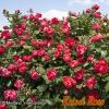 【緊急入荷】この春に、ガーデンのシンボルに!! チェリー ボニカ(Cherry Bonica) 大苗(ロングポット) 1鉢(簡易鉢)
