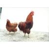 インギー鶏 1�あたり