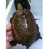 ニホンイシガメ甲長8-12cm美個体 ワイルド