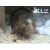 コタケネズミ(竹鼠)バンブーラット癒し系☆安心の国内ブリード