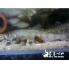 ヤマメ(山女魚)10cm 冷水魚