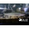 イワナ(岩魚)10cm 冷水魚
